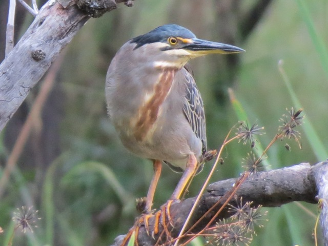 Greenbacked Heron at Waterbuck Pan