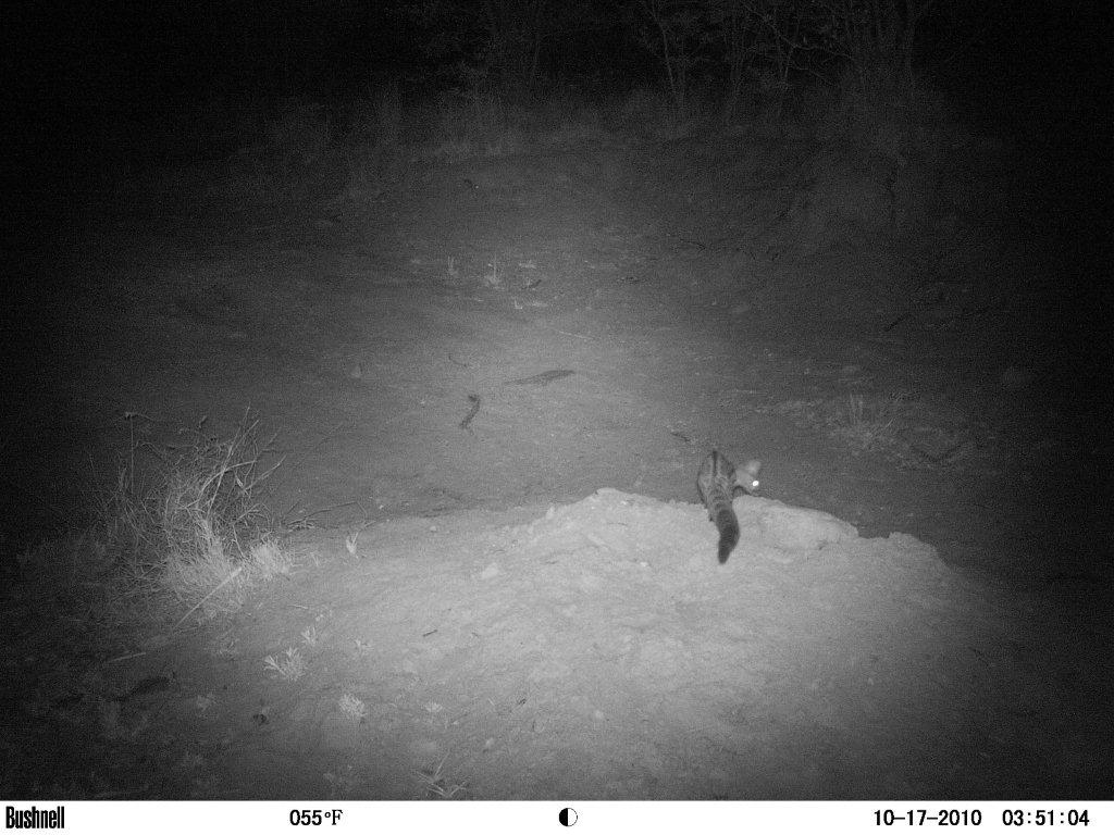 Small Spotted Genet